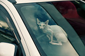 Sfinx cat inside a car window looking at camera