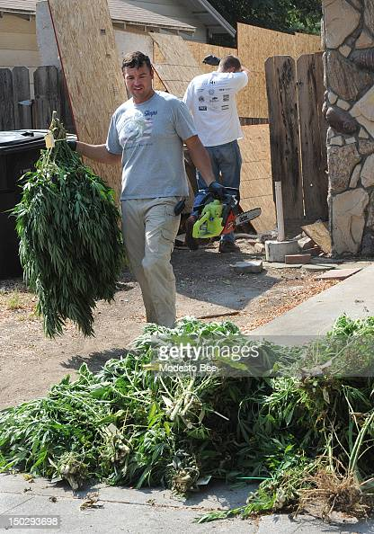 Sgt Rick Applegate with the narcotics enforcement team carries marijuana plants to a pile after cutting them down in the backyard of a house in...