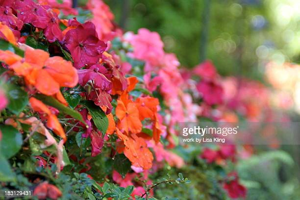 Shade Loving Hedge of Colorful Impatiens