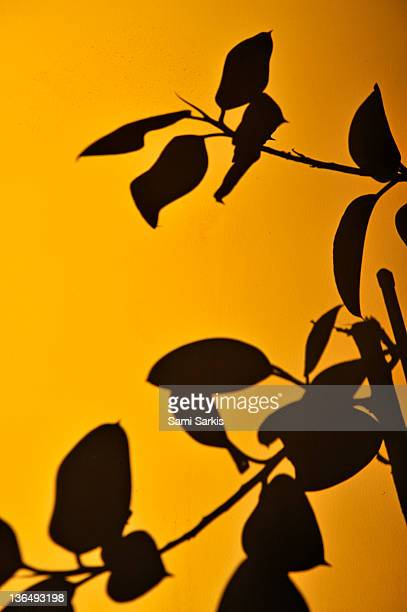 Shade of a Ficus elastica tree on door,