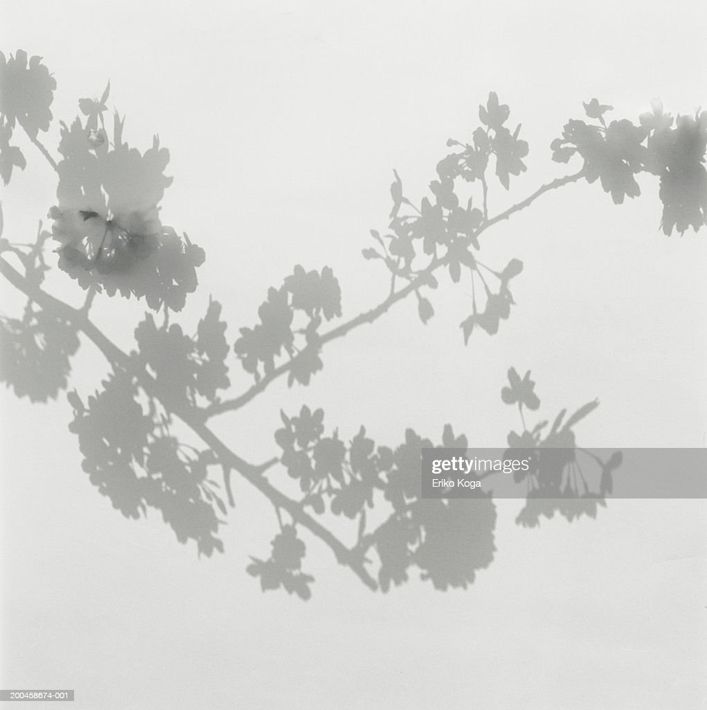 Shadow of cherry blossoms on wall : Stock Photo