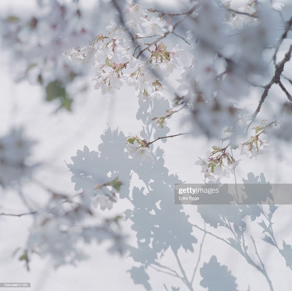 Shadow of cherry blossoms on wall with cherry blossom in foreground