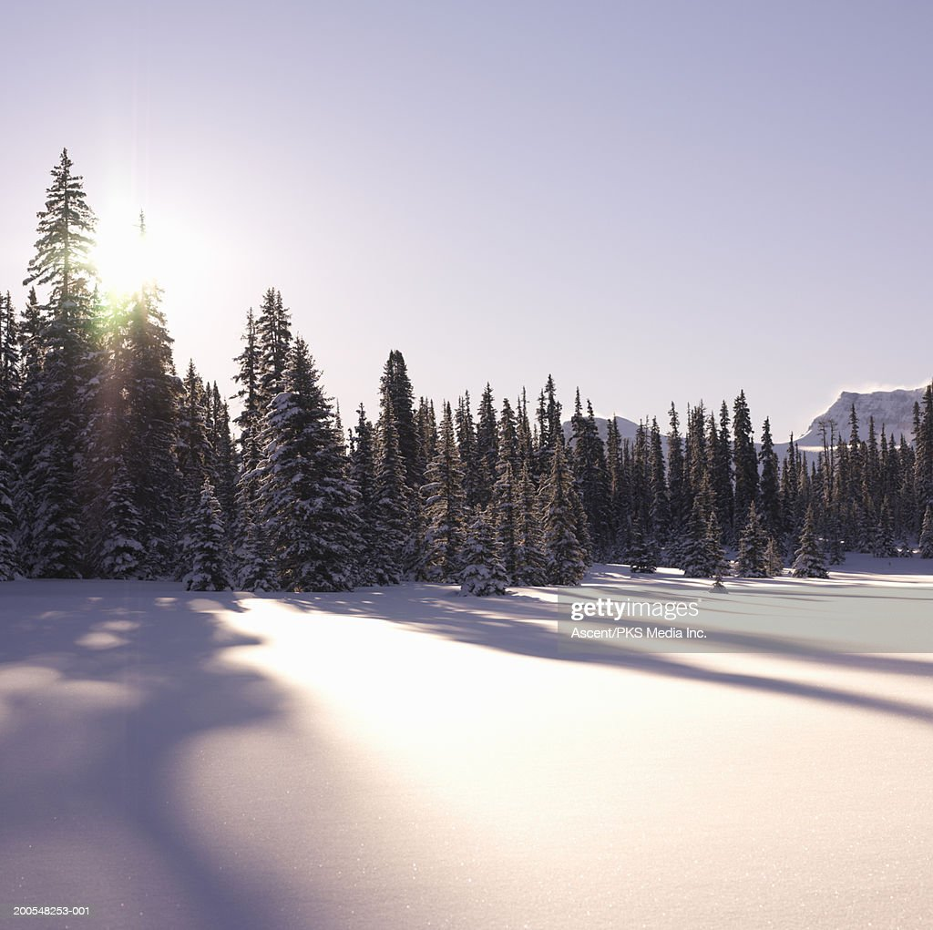 Shadows of fir tree : Stock Photo