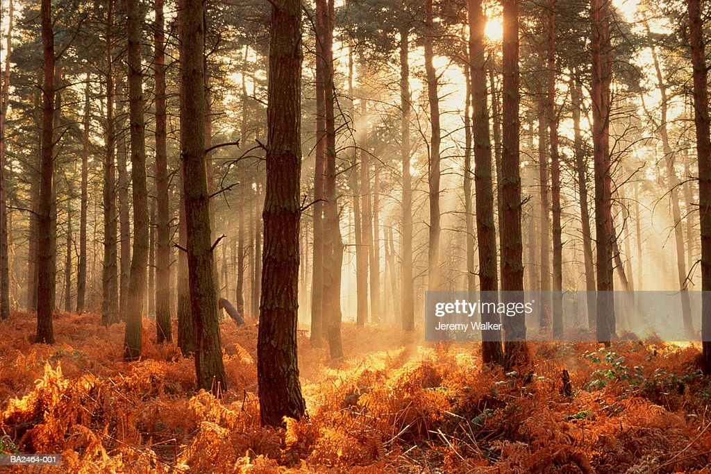 Shafts of golden sunlight streaming into bracken-carpeted pine forest : Stock Photo