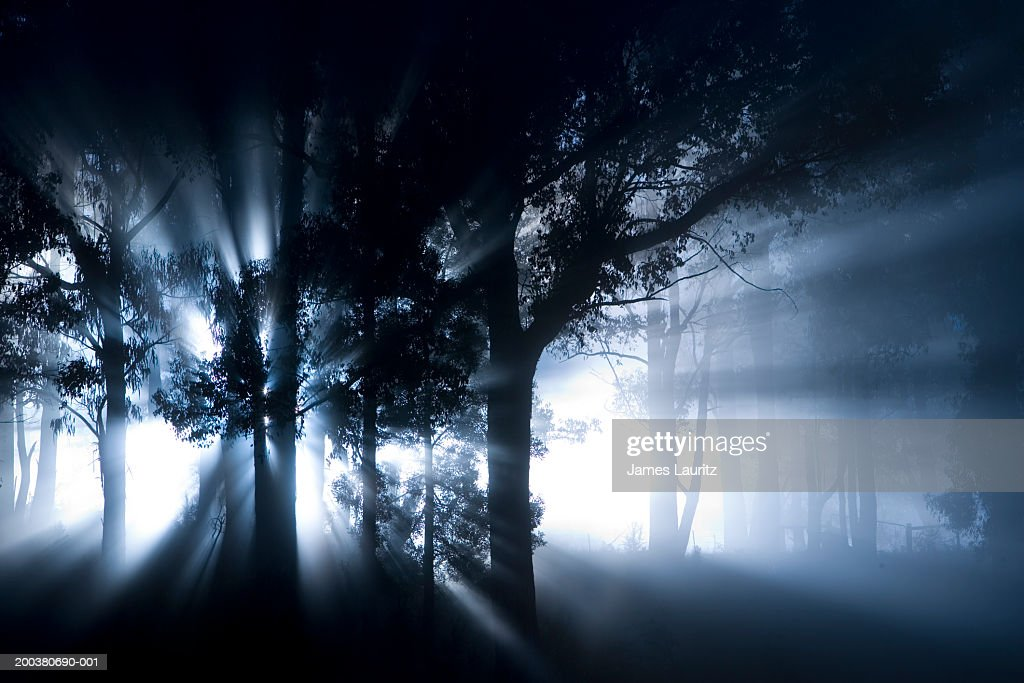 Shafts of sunlight shining through trees in woodland, in mist : Stock Photo