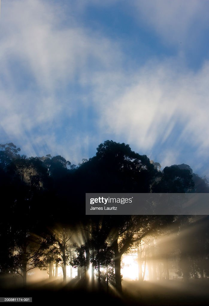 Shafts of sunlight shining through trees in woodland, sunrise : Stock Photo