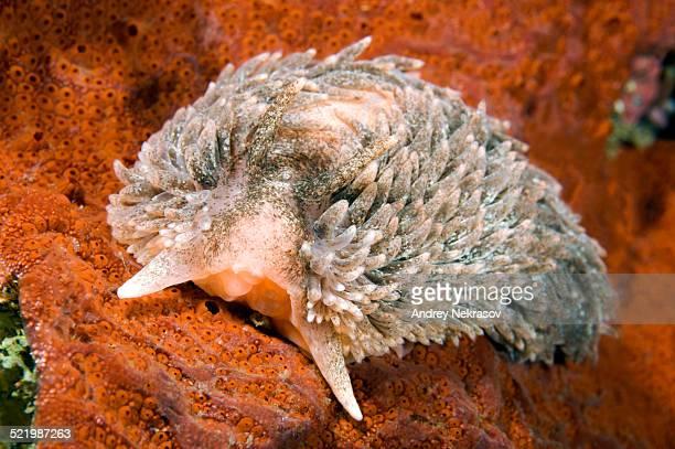 Shaggy Mouse Nudibranch or Shag Rug Nudibranch -Aeolidia papillosa-, Sea of Japan, Primorsky Krai, Russia