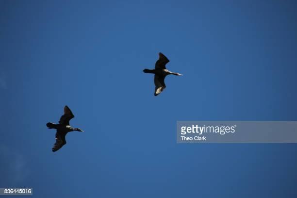 Shags in flight