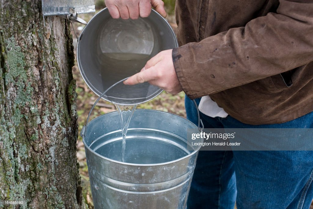 Shaker Village Historic Interpreter Philip McIntosh, of Harrodsburg, collects sap from a sugar maple tap in a sap pail at Shaker Village in Harrodsburg, Kentucky, March 1, 2013.