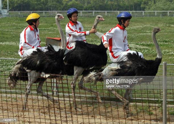 ostrich racing stock photos and pictures getty images
