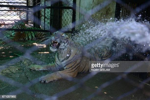'Shanker' a Bengal Tiger reacts as an Indian animalkeeper uses a hose to sprinkle water to cool him in a special enclosure at The Nehru Zoological...