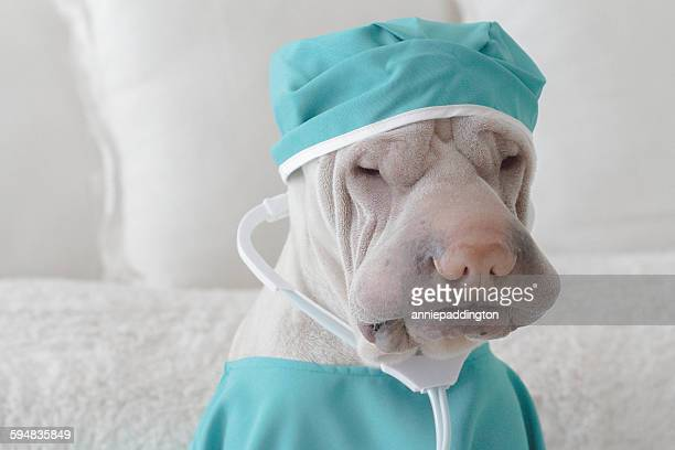 Shar Pei dog dressed as a surgeon
