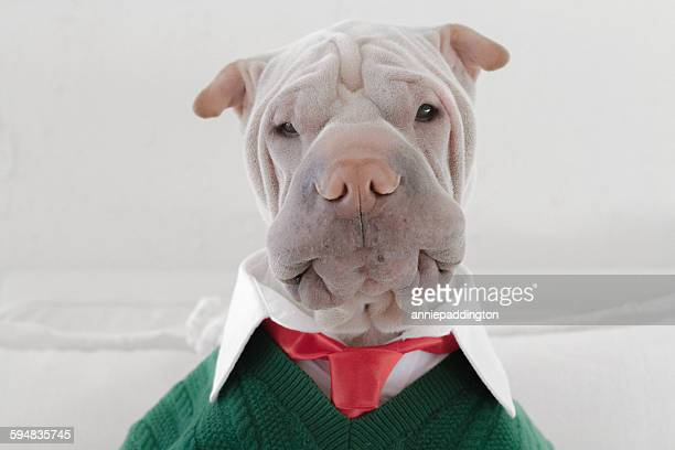 Shar Pei dog dressed in a shirt, tie and sweater looking surprised