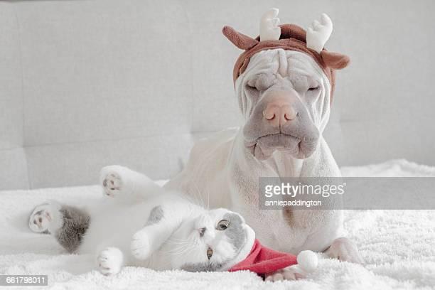 Shar pei dog dressed in antlers and british shorthair cat dressed in santa hat