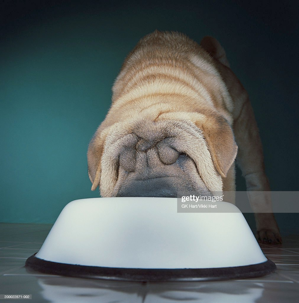Shar pei dog eating from bowl : Stock Photo