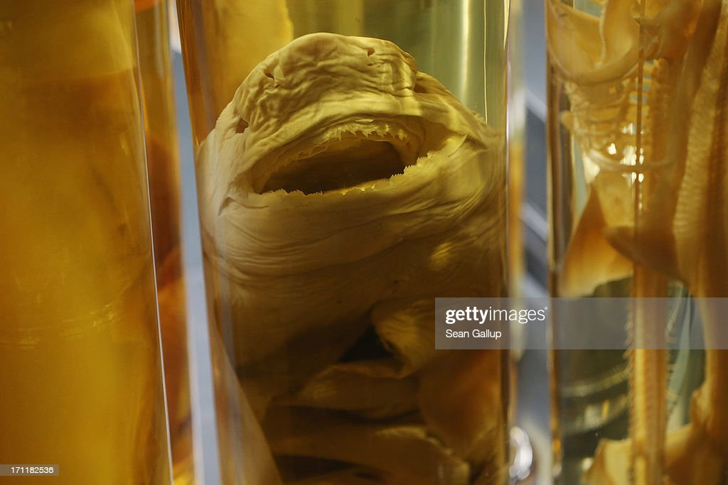 A shark and other creatures lie preserved in alcohol in the East Wing of the Natural History Museum (Naturkundemuseum) on June 21, 2013 in Berlin, Germany. The East Wing houses a three-storey steel and glass structure in which 276,000 glass cylinders lining 12.6 kilometers of shelves contain over one million fish, reptiles, mammals, spiders, worms, crabs, insects and invertebrae, some of which date back to the 18th century. The original East Wing was destroyed by Allied bombing during World War II and the new wing was completed in 2010.