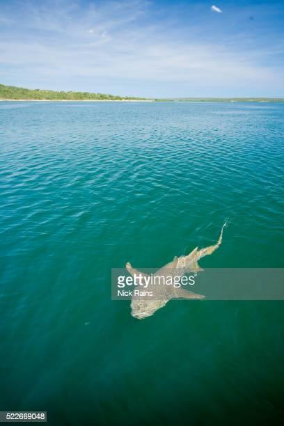 Shark at the Berkley River in Western Australia