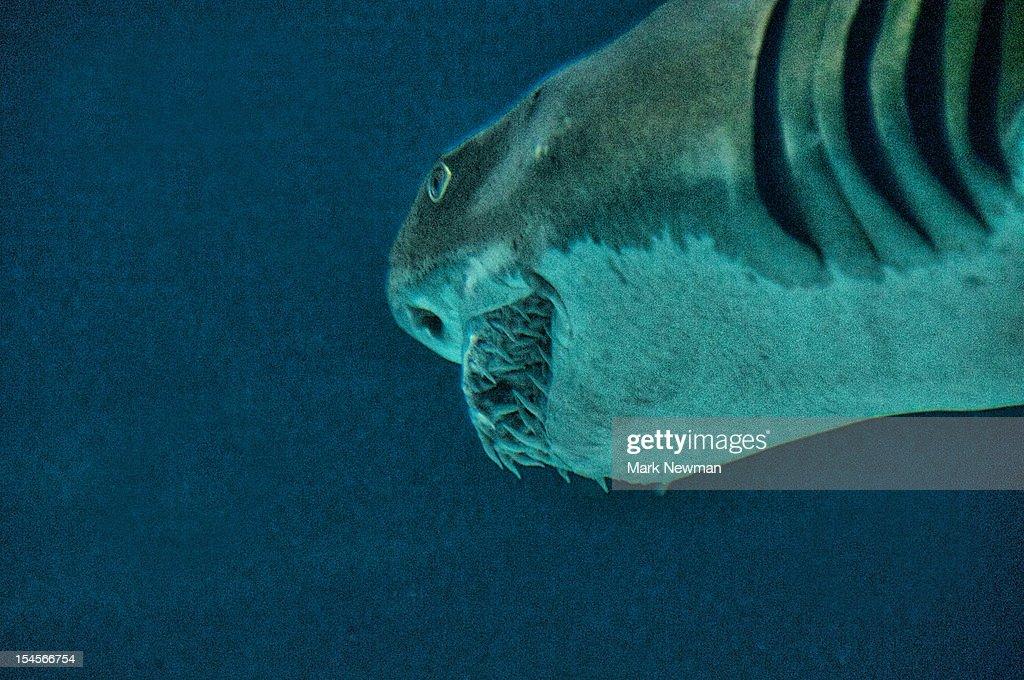 Shark baring teeth : Stock Photo