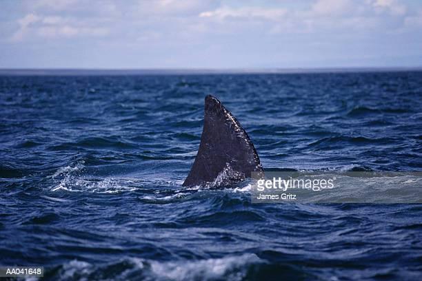 Shark fin above water (Digital Composite)