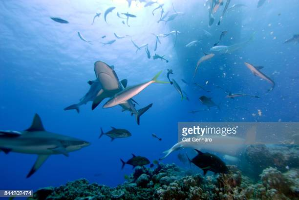 Shark Frenzy Under Boat
