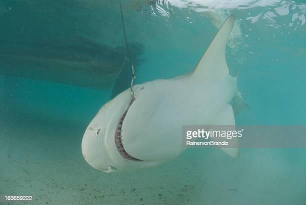 shark hooked next to boat