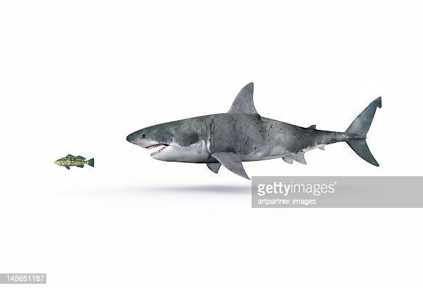 A shark hunting a small fish