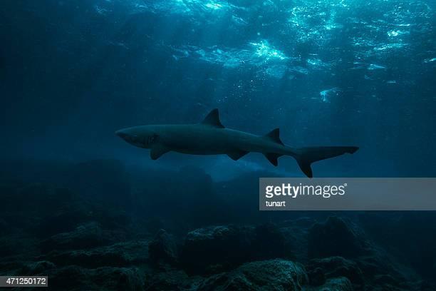 Shark in Dark Sea