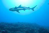 Shark in ocean, low angle view