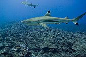 Shark in ocean, side view