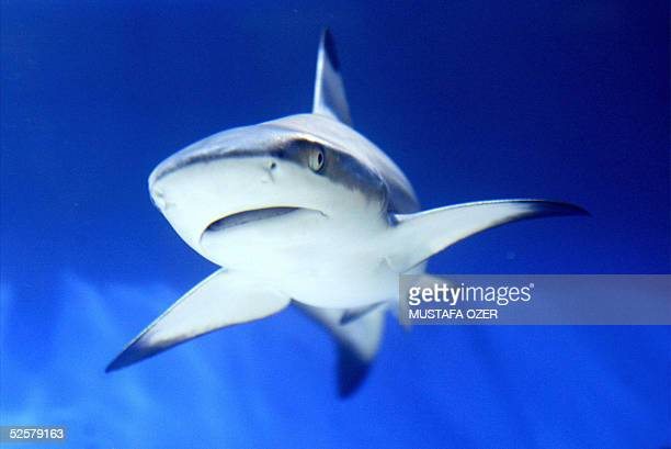 A shark is seen in an aquarium during the International Animal Fair in Istanbul 02 April 2005 AFP PHOTO/Mustafa Ozer