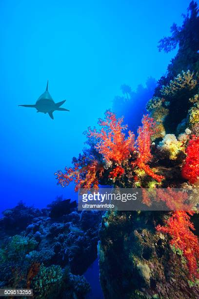 Squalo del reef