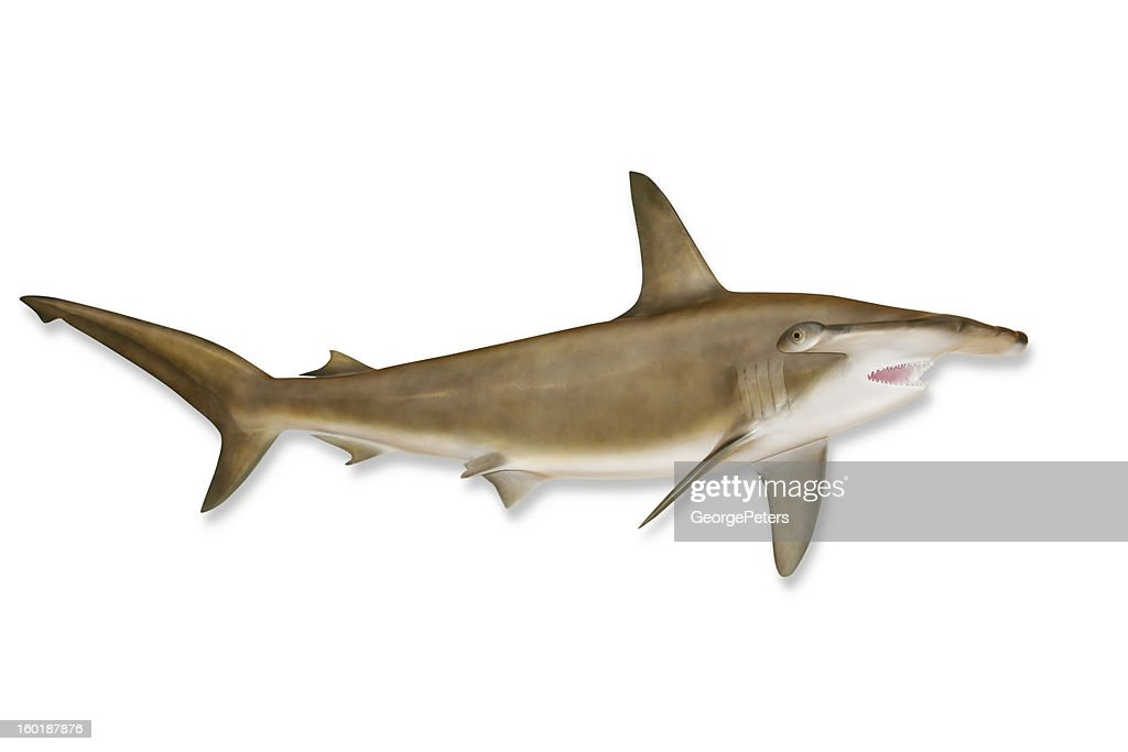 Shark with Clipping Path : Stock Photo