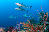 Sharks and soft corals
