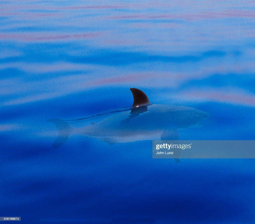 Shark's Dorsal Fin Breaking Surface of Water