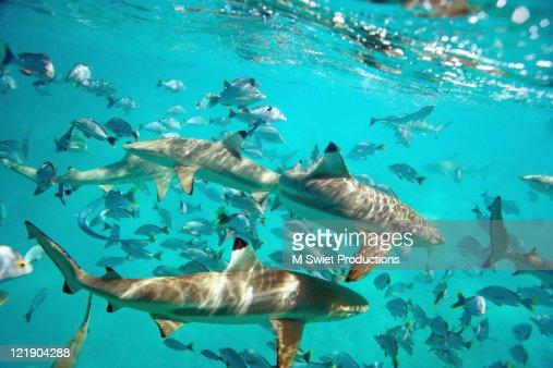 Sharks fish