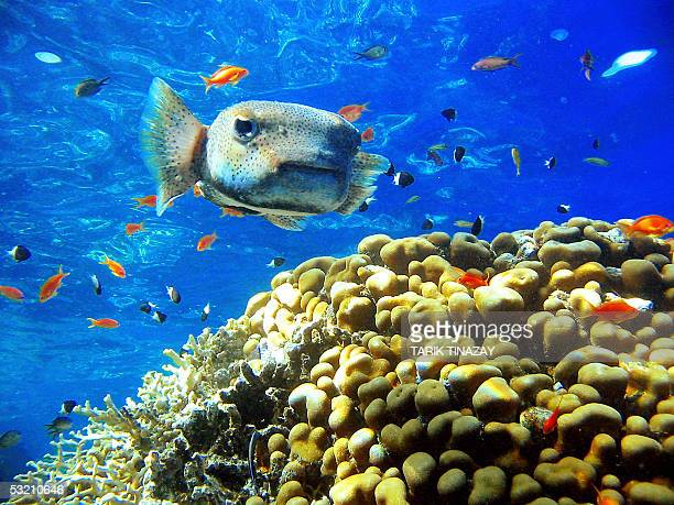 A Porcupinefish swims over brain coral in the depths of Ras Mohammed pretection area near Sharm elSheikh in Egypt 08 July 2005 The members of this...