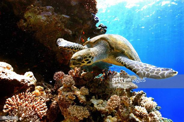 A sea Turtle swims in the depth of the Ras Mohammed protection area near Sharm elSheikh in Egypt 06 July 2005 One of the most thrilling underwater...