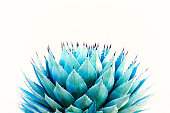 Sharp Leaves of Agave (American Aloe) Plant; White Background with copy space.