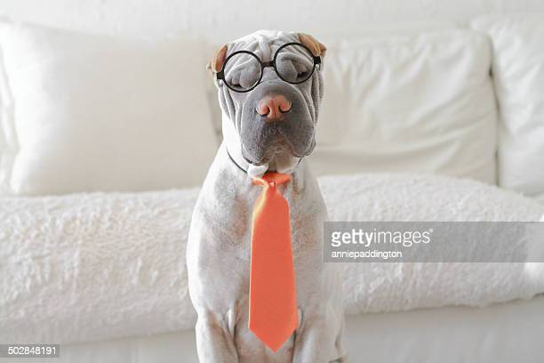 Shar-pei dressed as business man