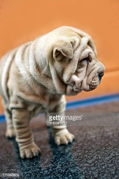 Sharpei puppy from the side
