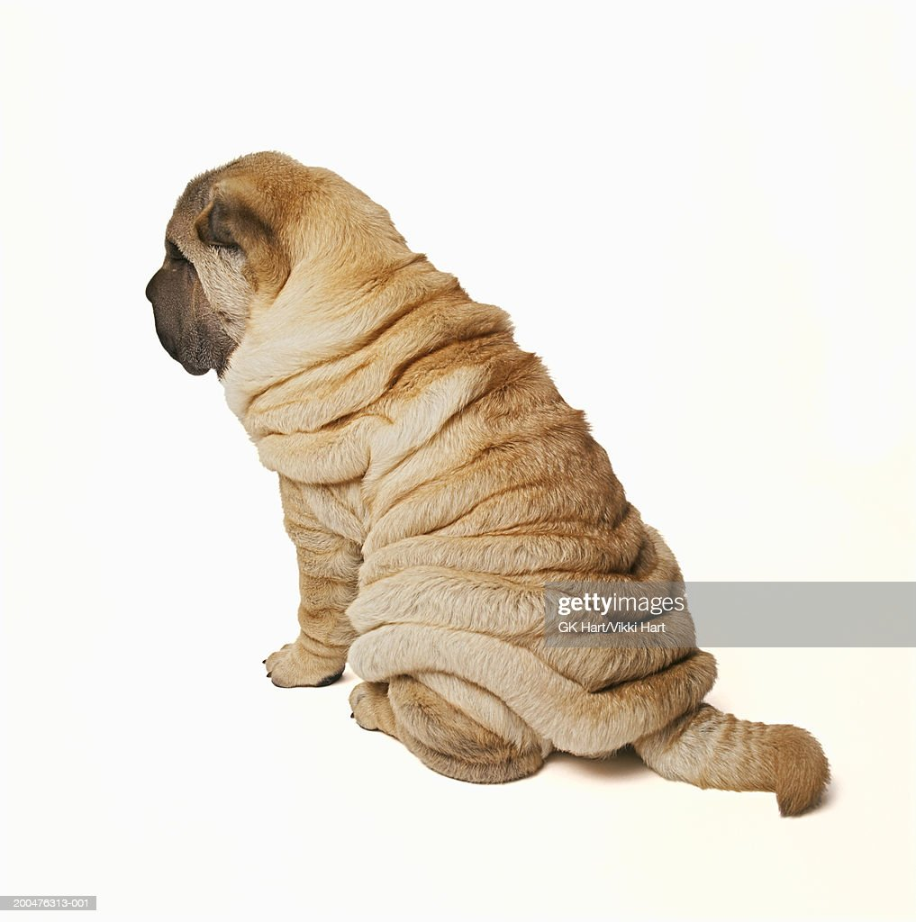 Shar-pei puppy sitting against white background, rear view : Stock Photo