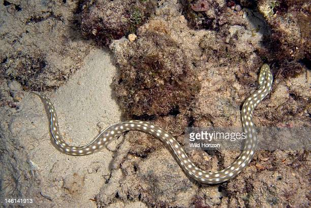 Sharptail eel hunting out on the reef Myrichthys breviceps Curacao Netherlands Antilles