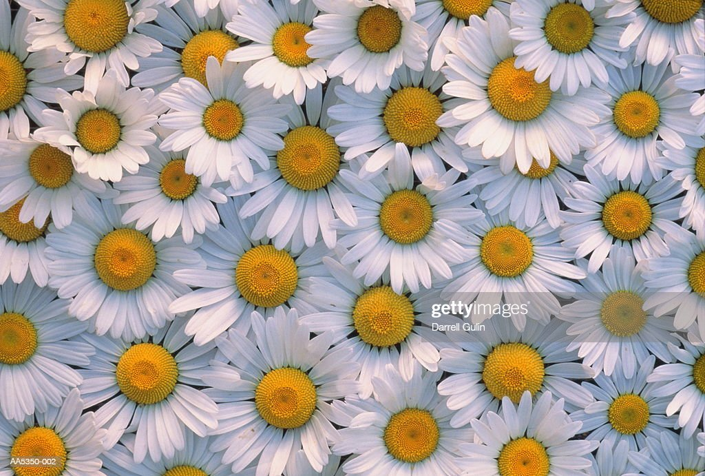 Shasta daisies (Compositae sp.) (full frame) : Stock Photo