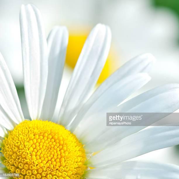 Shasta daisy (Leucanthemum x superbum) - III
