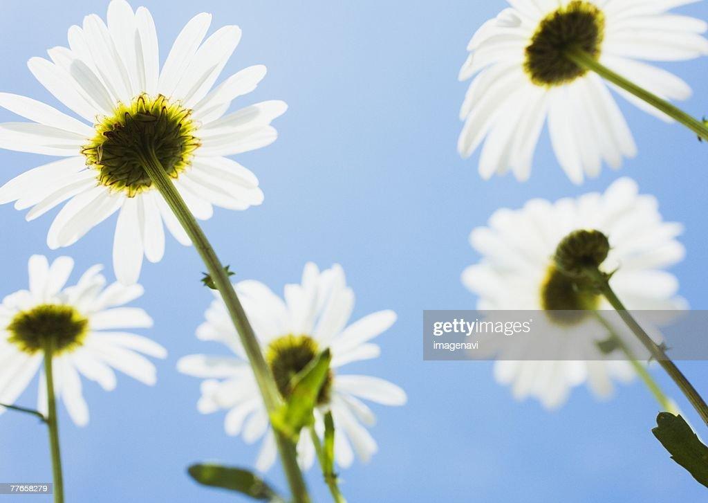 Shasta Daisy : Stock Photo