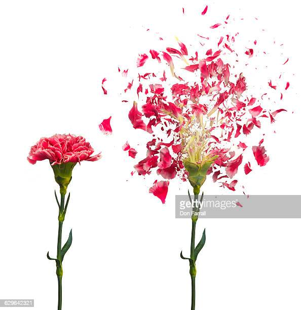 Shattered Carnation Before and After