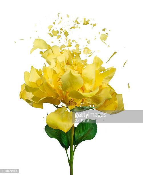 Shattered Yellow rose