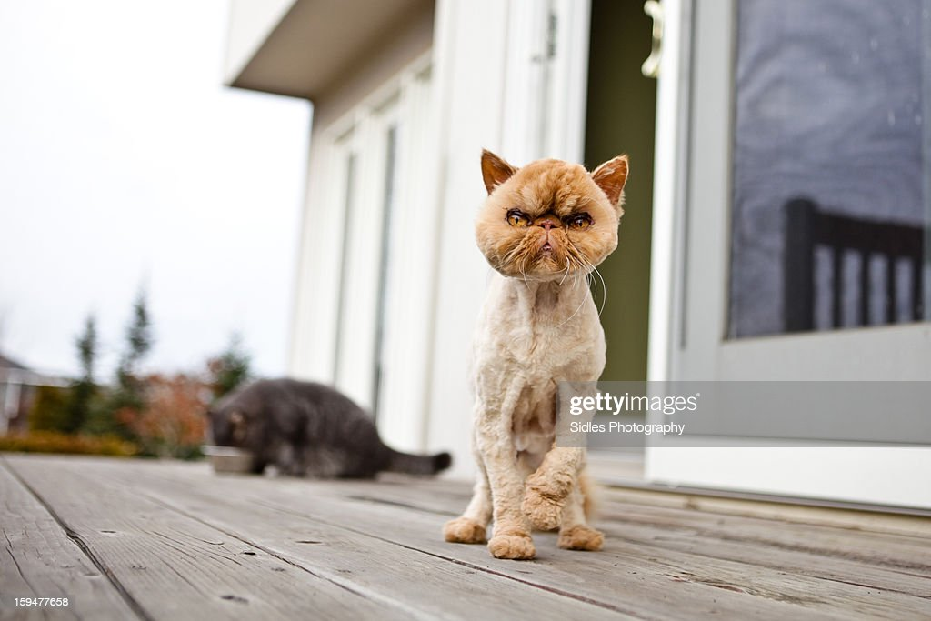Shaved Persian Cat. Standing on Deck.