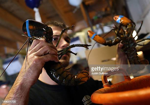 Shawn Coffill of Three Sons Lobster and Fish weighs live lobsters on July 21 2012 in Portland Maine A mild winter and warmer than usual spring caused...