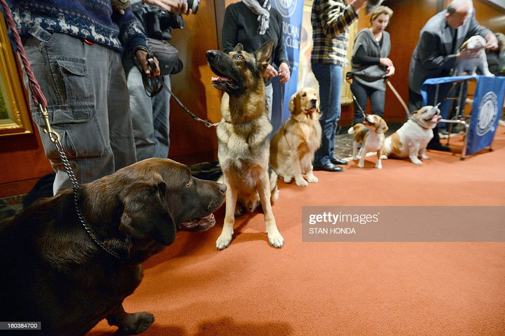 L-R, Shayna Maydela, a Labrador Retriever; Commander, a German Shepherd; Major, a Golden Retriever; Max, a Beagle and Munch, a Bulldog at an American Kennel Club press conference January 30, 2013 in New York where the most popular dogs in the US were announced. The top five are Labrador Retriever, German Shepherd, Golden Retriever, Beagle and Bulldog according to AKC registration statistics. AFP PHOTO/Stan HONDA